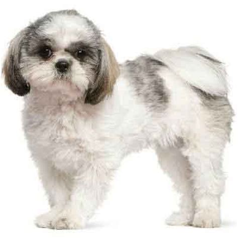 puppy haircut gallery shih tzu with puppy cut