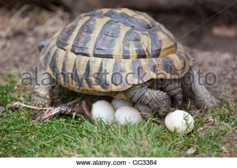 herman s tortoise testudo hermanni laid a clutch of stock photo royalty free