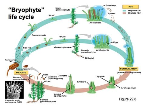 liverwort cycle diagram bryophyte cycle biodiversity classification