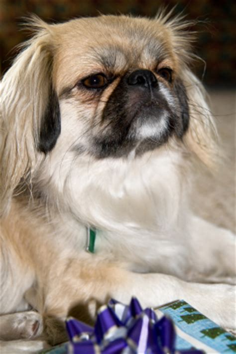 pica in dogs pica in dogs does your pekingese pica