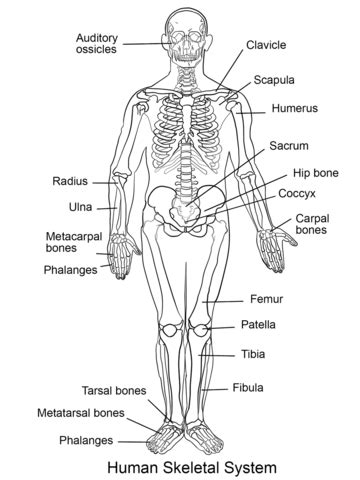 Human Skeletal System coloring page | Free Printable