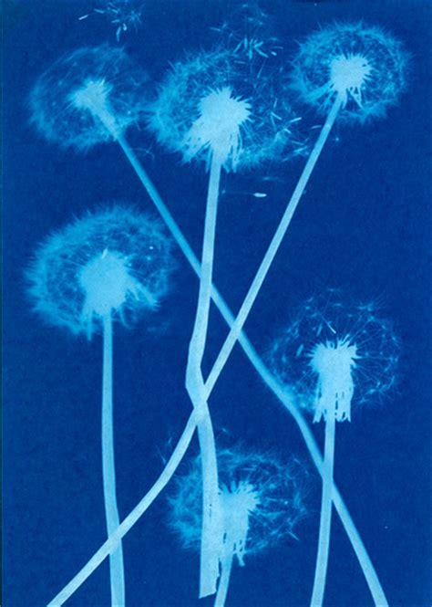 dandelions cyanotype sun print flickr photo sharing
