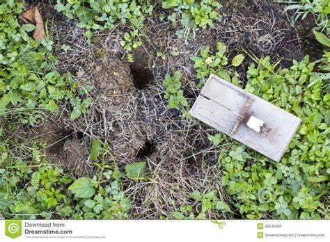 trappe de souris sur la pelouse de jardin photographie