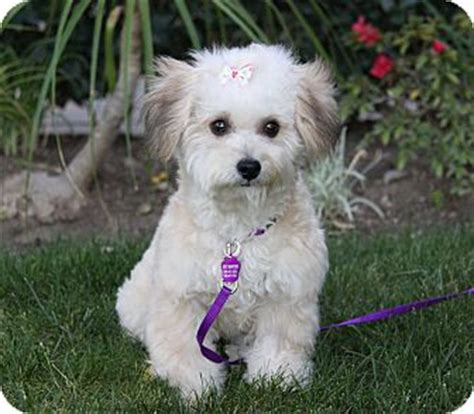 yorkie and miniature poodle mix coco adopted newport ca poodle miniature yorkie terrier mix