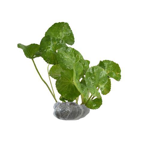 tanaman violces obat bibitbungacom