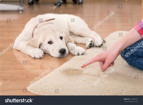 guilty golden retriever golden retriever puppy looking guilty his stock photo 237584221