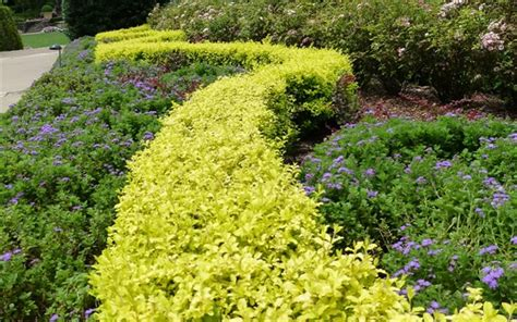 colorful shrubs colorful hedges for any garden the tree center