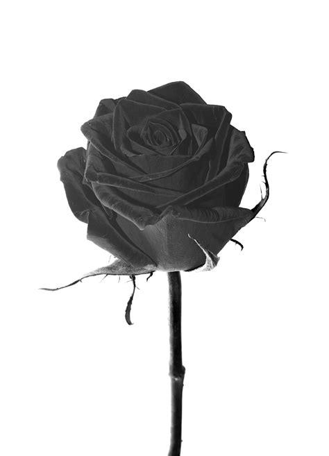 Banco de imagens : Flor, Preto e branco, plantar, pétala