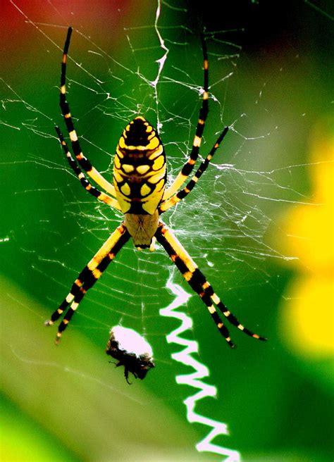 Garden Spider America Garden Spider And Prey Photograph By Charles Shedd