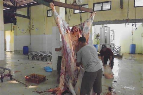 Timbangan Sapi Hidup sulitnya menstabilkan harga daging sapi safari ternak