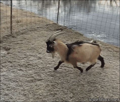 ice goat gif find & share on giphy