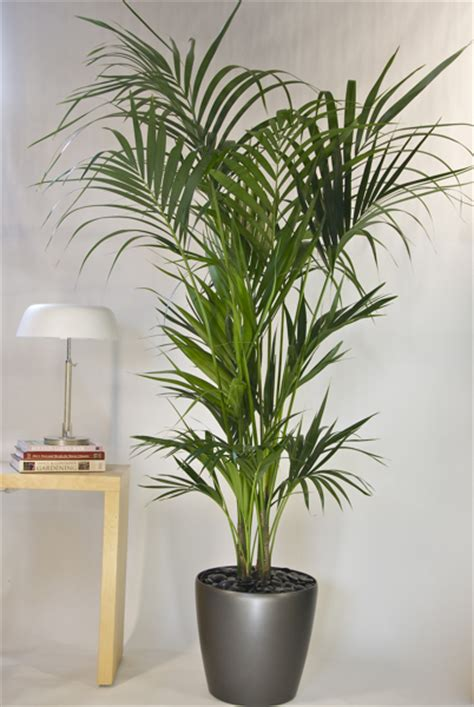 Interior Palm the gallery for gt indoor plant png