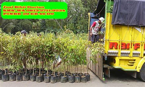 Bibit Durian Musang King Di Malang jual bibit durian di malang bibit durian montong bibit