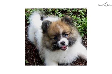 parti pomeranians for sale pin find pomeranian puppies for sale and breeders at on