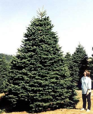 best christmas tree farms oregon gallery of oregon trees fabulous homes interior design ideas
