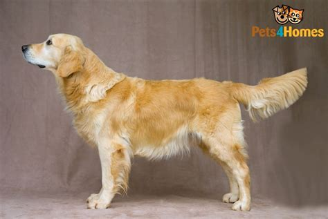 information on golden retriever golden retriever breed information buying advice photos and facts pets4homes