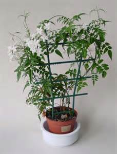 Small Plant Trellis Jasminum Polyanthum Our House Plants