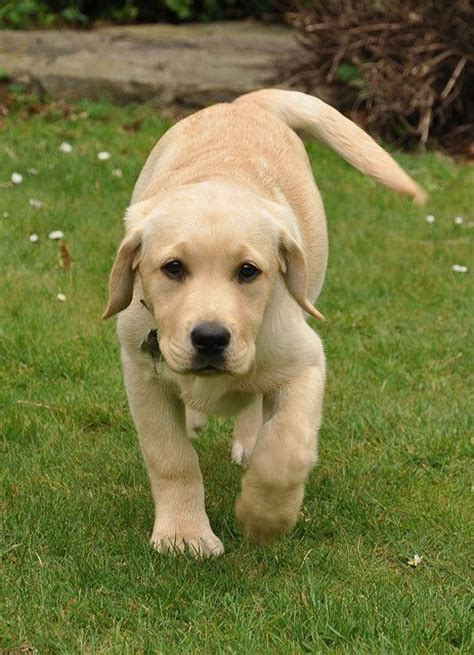 golden retriever exercise needs 25 best ideas about yellow labrador puppies on