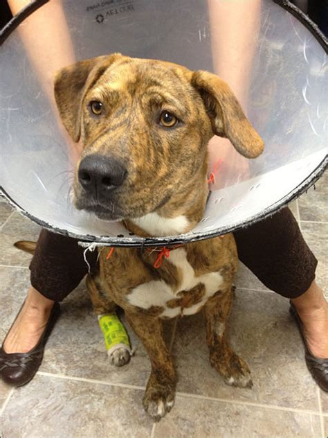 does neutering help with aggression in dogs abandoned left bleeding after home neutering recovering
