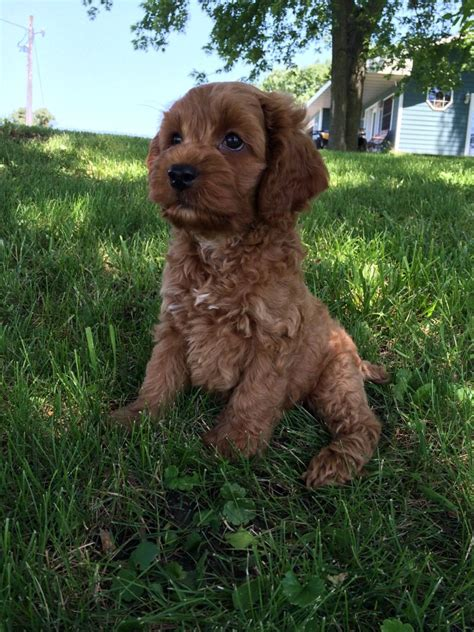cockapoo puppies illinois professional breeder cockapoo pup for sale