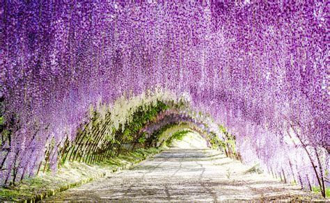 wisteria flower tunnel japan wisteria flowers tunnel in japan found the world