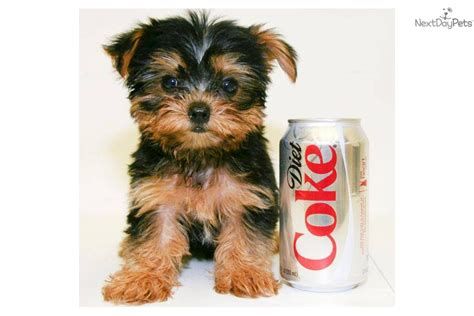 yorkie puppy price pin terrier teacup price on