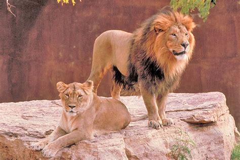 imagenes de leones macho y hembra asian lion panthera leo persica