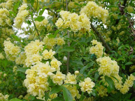 arbusti con fiori gialli rosa banksiae lutea il giardino azienda floricola