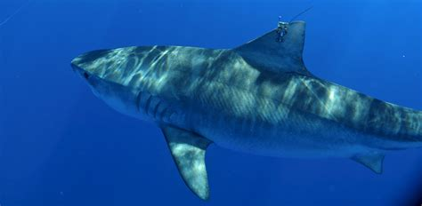Shark In The hawaiʻi tiger shark tracking pacioos