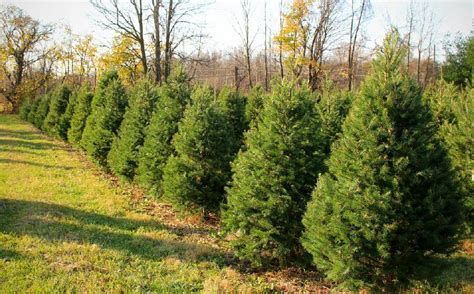 christmas tree farms in rochester and the finger lakes