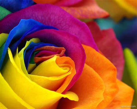 colorful roses colorful wallpaper hd wallpaper appraw