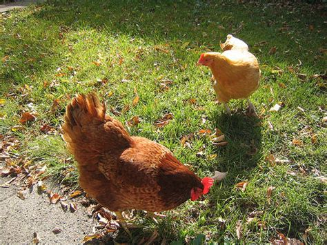 backyard chickens salmonella backyard chickens behind big salmonella outbreak kera news