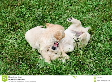 playful puppies playful puppies stock photography image 22914132