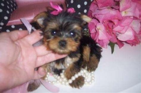 yorkie babies for free pets denver co free classified ads