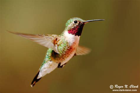 clarkvision photograph hummingbird 4126