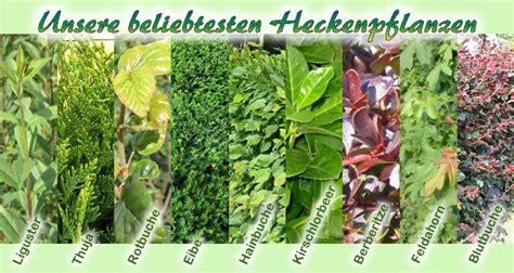 heckenpflanzen immergrün winterhart schnellwachsend 67 heckenpflanzen liguster hecke hainbuchenhecke und