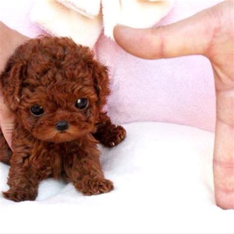 small dogs www imgkid com the image kid has it small cute puppy dog cute small dogs tea cup poodles cute