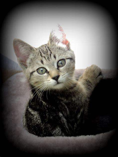 Universal Kitten cici cat bio