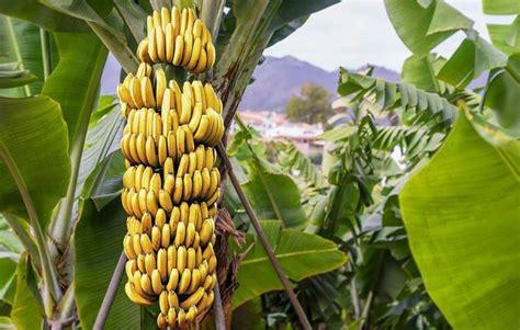 La Bananais Pisang Sale 39 10 manfaat pisang untuk kesehatan dan kecantikan terbukti