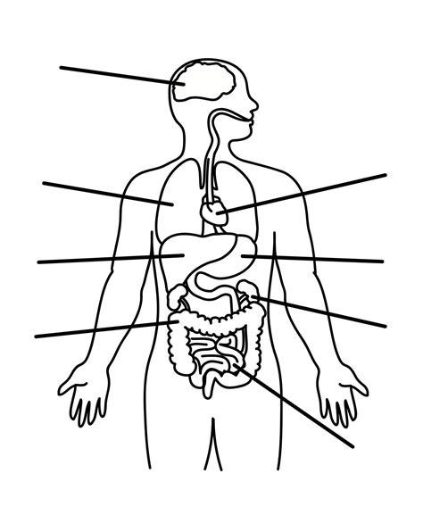 human anatomy organs diagram blank human diagram anatomy human