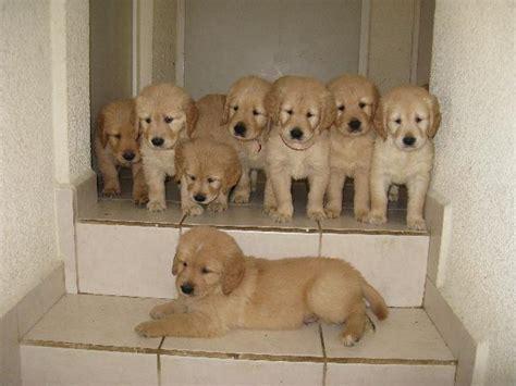 golden retriever colores dorado claro se venden cachorros golden retriever en los cabos