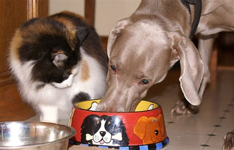 can puppies eat cat food should cats eat food meow