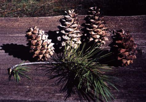 description of a tree pinus gerardiana 劦 description the