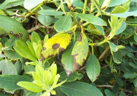 Pilze Im Garten Gut Oder Schlecht by Rhododendron Krankheiten Pilzbefall Kranker Bl 228 Tter