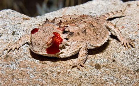 imagenes de ojos que lloran sangre 191 por qu 233 dispara el lagarto cornudo sangre de sus ojos