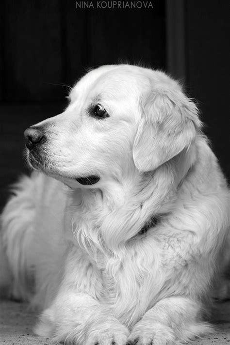 golden retriever breeders tasmania 1286 best animales y mascotas images on animals puppies and chocolate labs