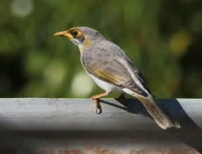 richard waring s birds of australia photos of birds in