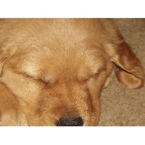 golden retriever puppies bend oregon broken top golden retrievers golden retriever stud in redmond oregon listing id 22051