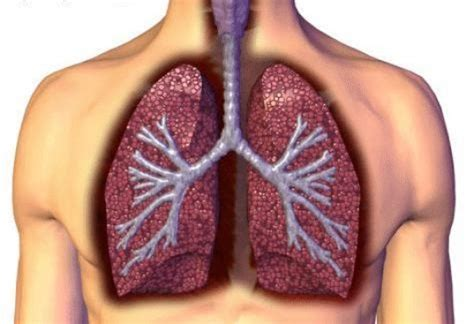 blogger lung human lungs 171 inhabitat green design innovation