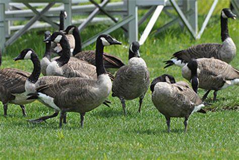 Interior Habitat Fs1214 Canada Goose Ecology And Impacts In New Jersey